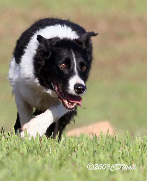 Russell working at his last sheepdog trial...at 12.5 years young!