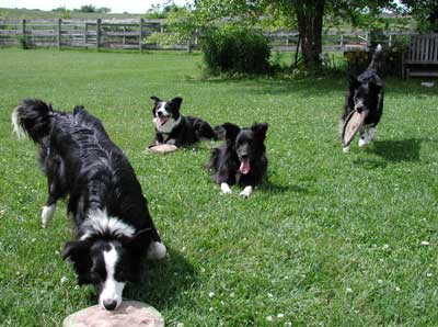 Kathy Kawalec's Dogs play and wait for their turn