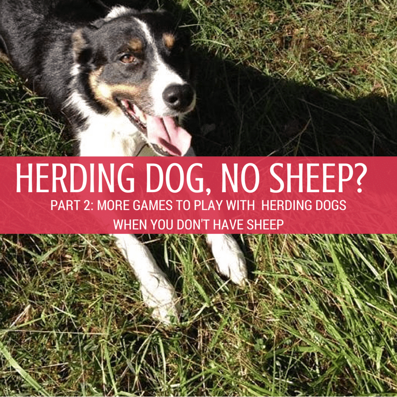 Games to play with bored herding dogs