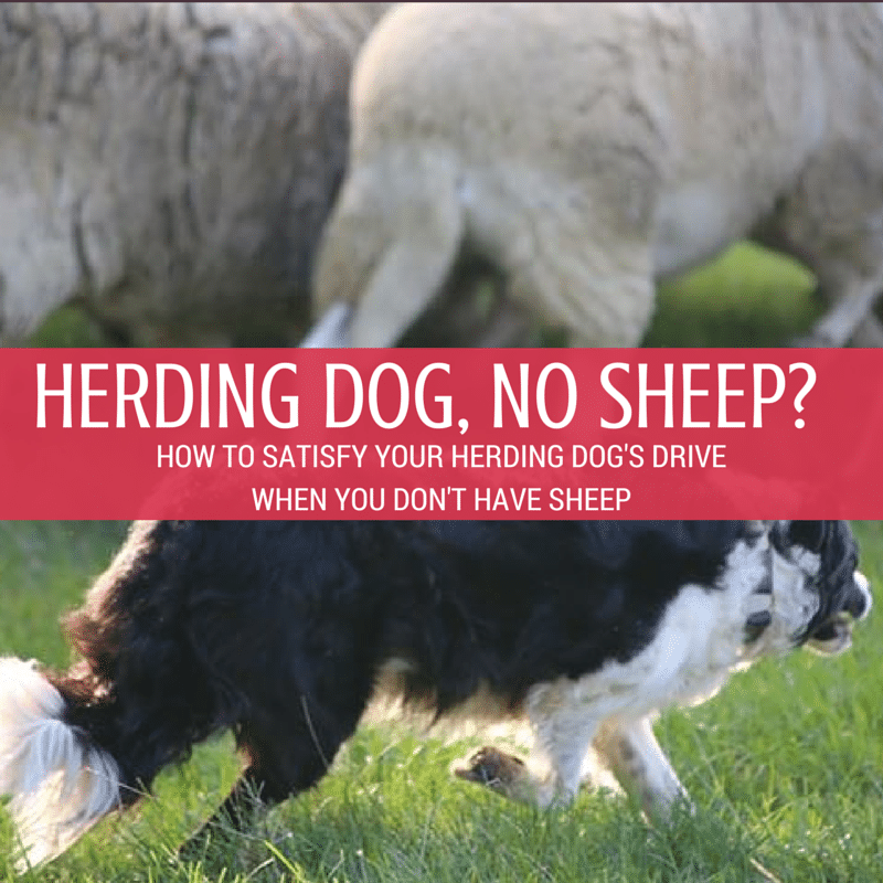 no sheep?
